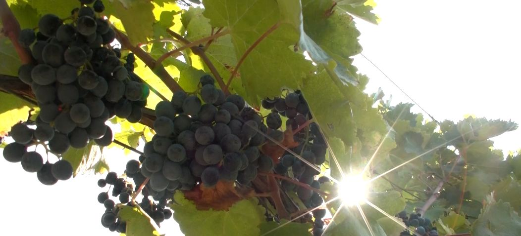 ქართული ბიო ღვინო ევროკავშირის ბაზარზე